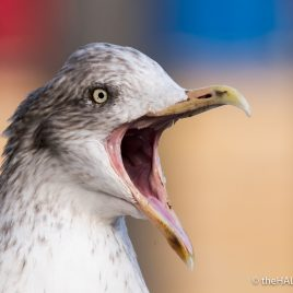 Herring Gull - The Hall of Einar - photograph (c) David Bailey (not the)