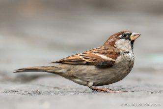 Italian Sparrows - The Hall of Einar - photograph (c) David Bailey (not the)