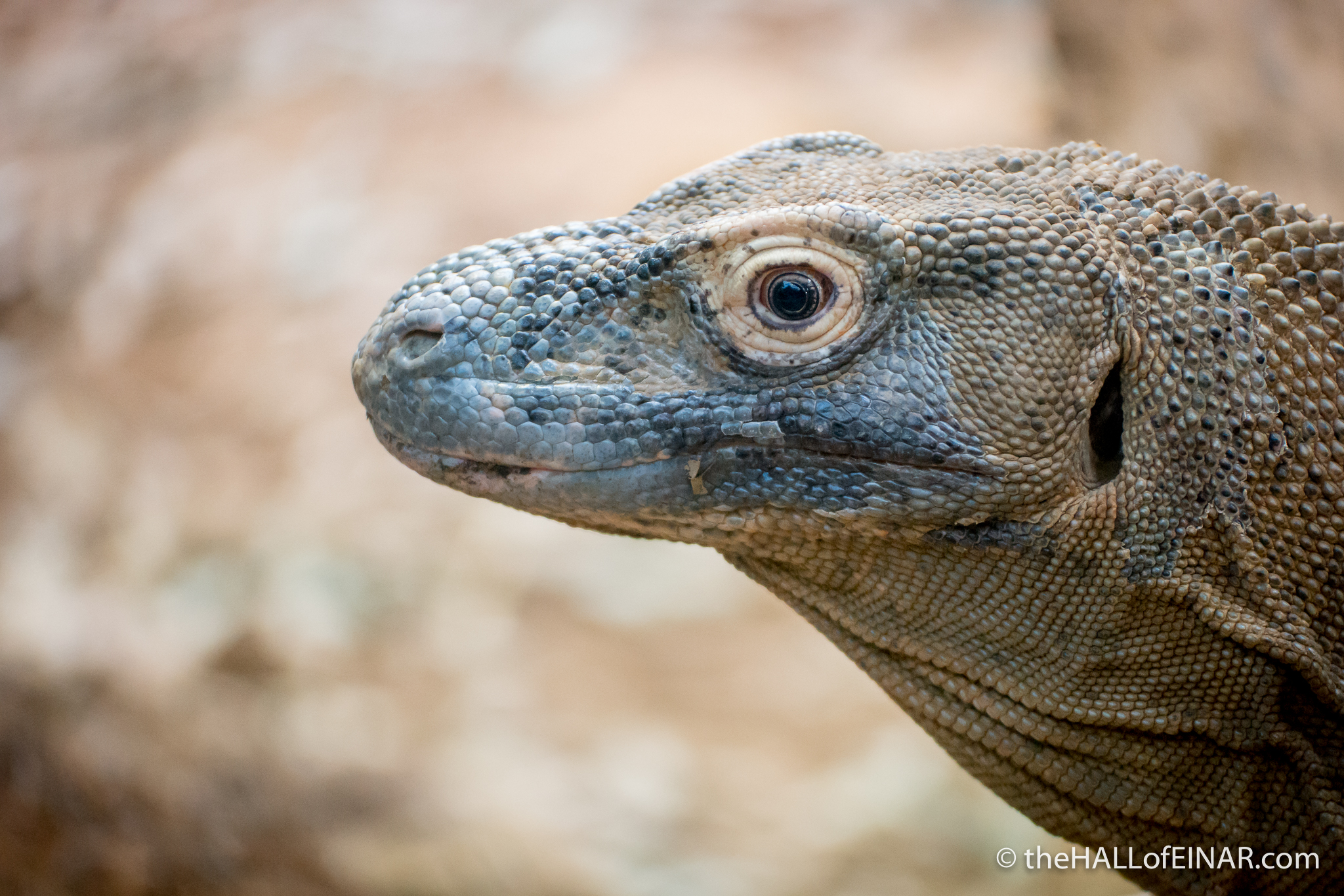 Komodo Dragon - Varanus komodoensis - The Hall of Einar - photograph (c) David Bailey (not the)