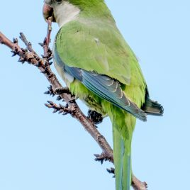 Monk Parakeets - The Hall of Einar - photograph (c) David Bailey (not the)