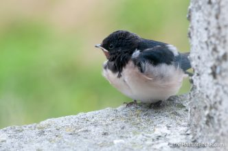 Fledging Swallow - The Hall of Einar - photograph (c) 2016 David Bailey (not the)