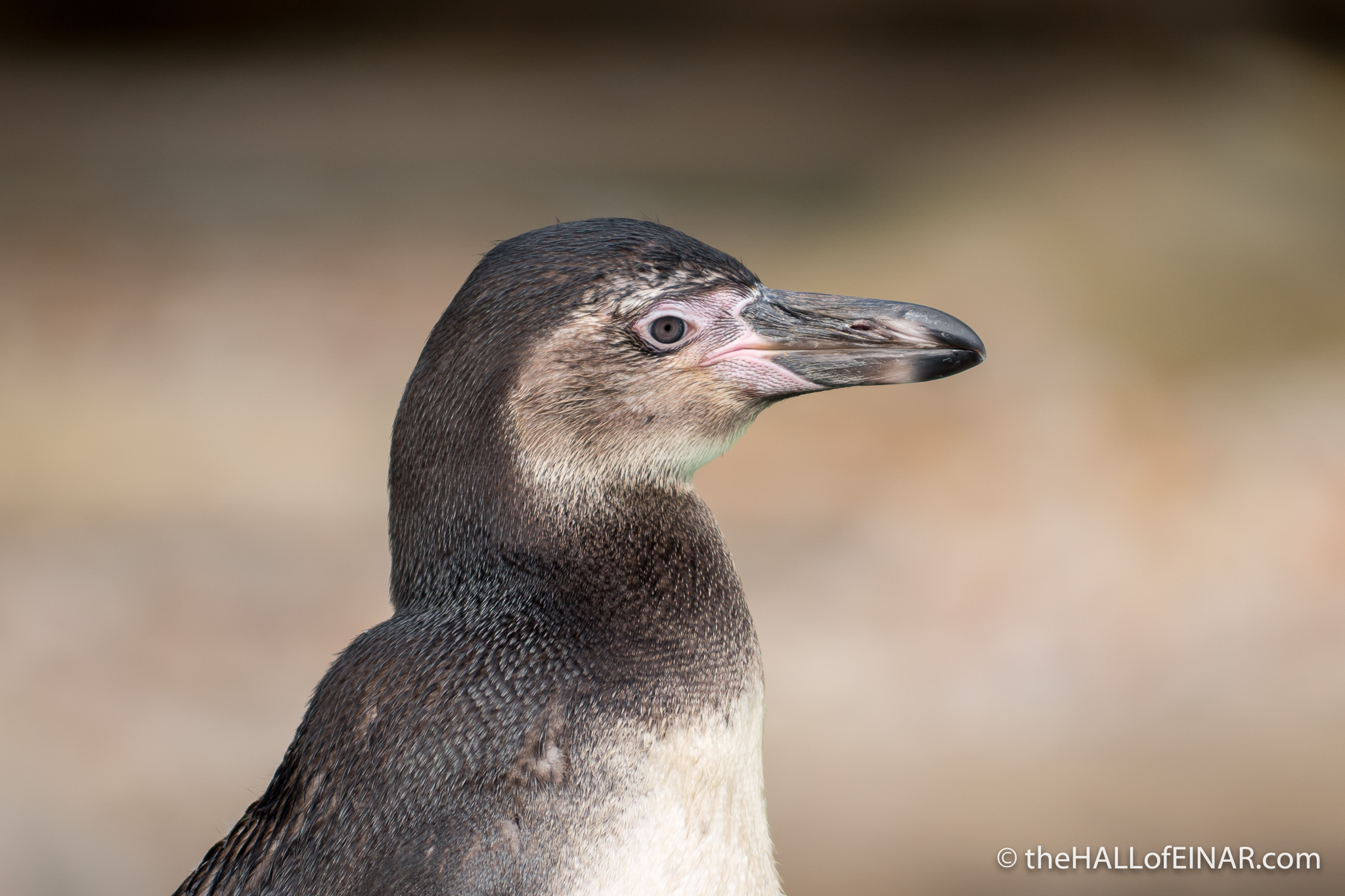 Penguin at London Zoo - The Hall of Einar - photograph (c) David Bailey (not the)