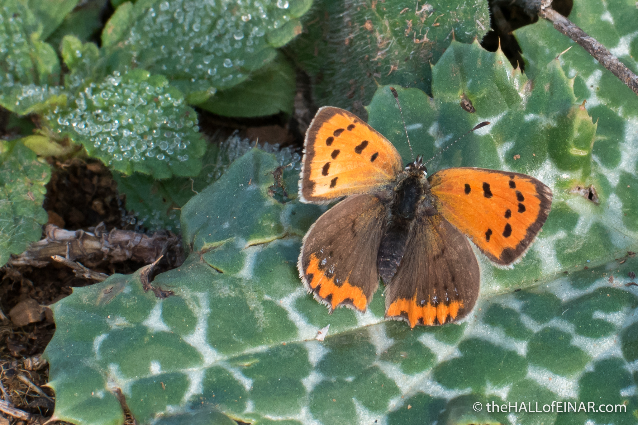 Small Copper - The Hall of Einar - photograph (c) David Bailey (not the)