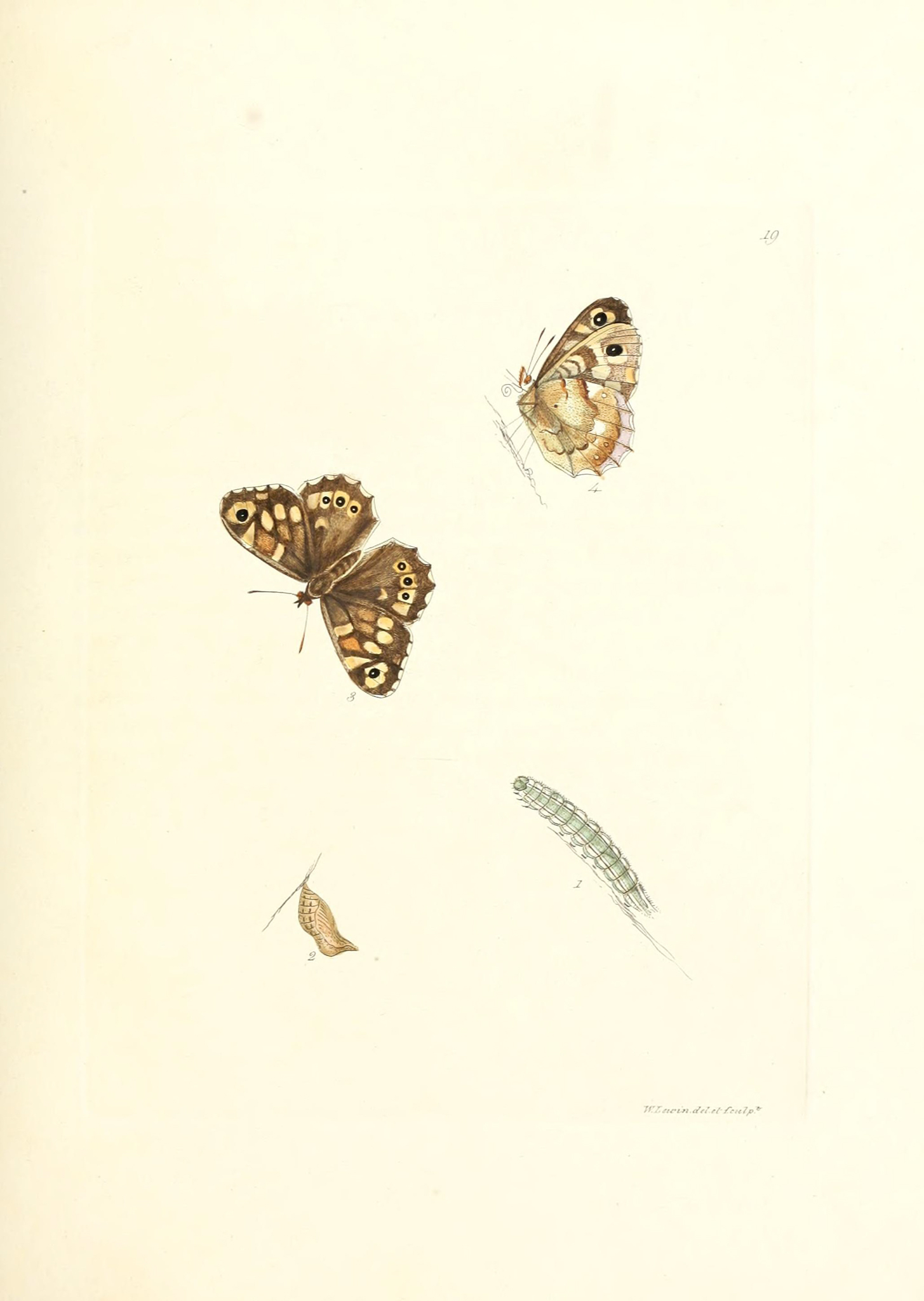 Speckled Wood - The Hall of Einar