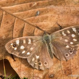 Speckled Wood - The Hall of Einar - photograph (c) David Bailey (not the)