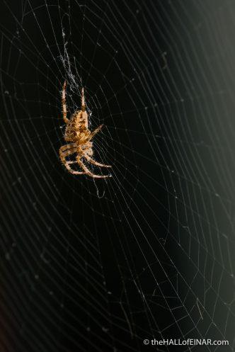 Garden Spider - The Hall of Einar - photograph (c) David Bailey (not the)