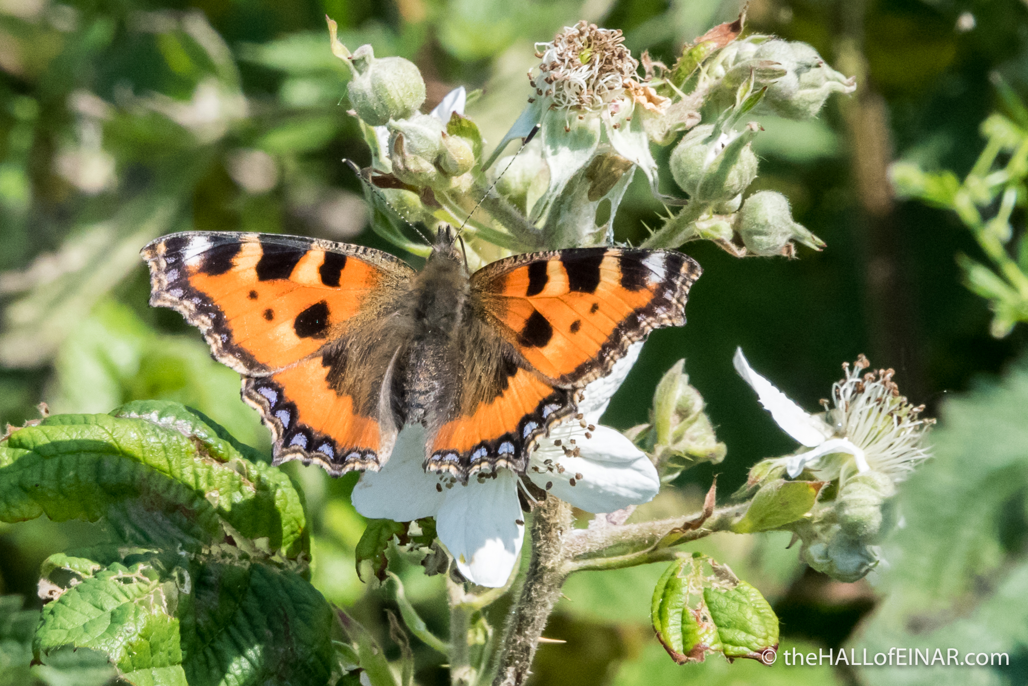 Small Tortoishell - The Hall of Einar - photograph (c) David Bailey (not the)