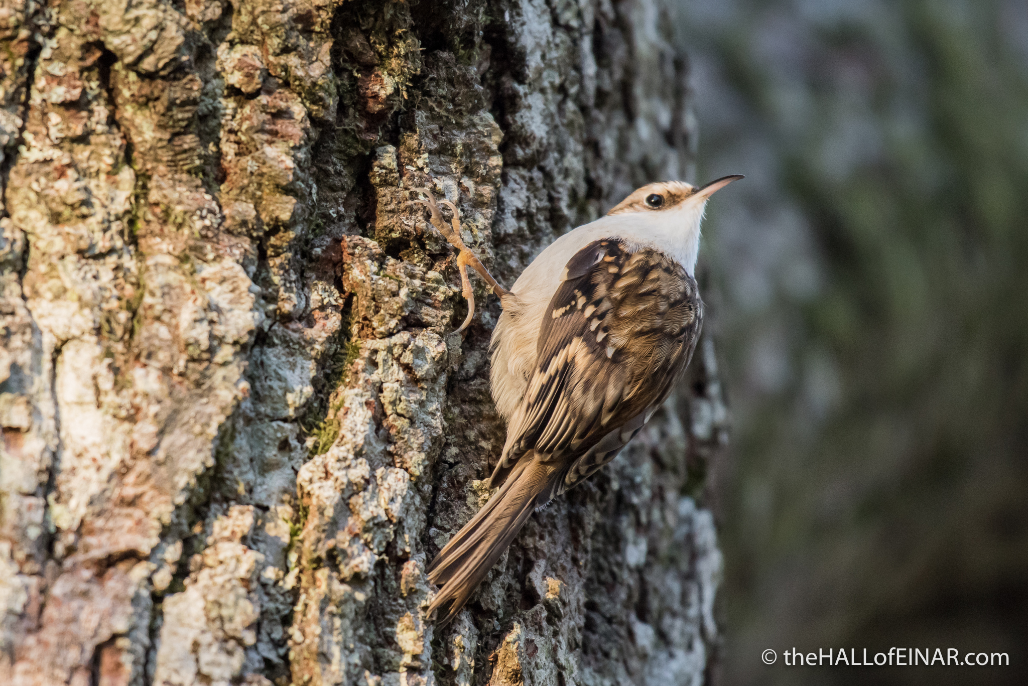Treecreeper - The Hall of Einar - photograph (c) David Bailey (not the)