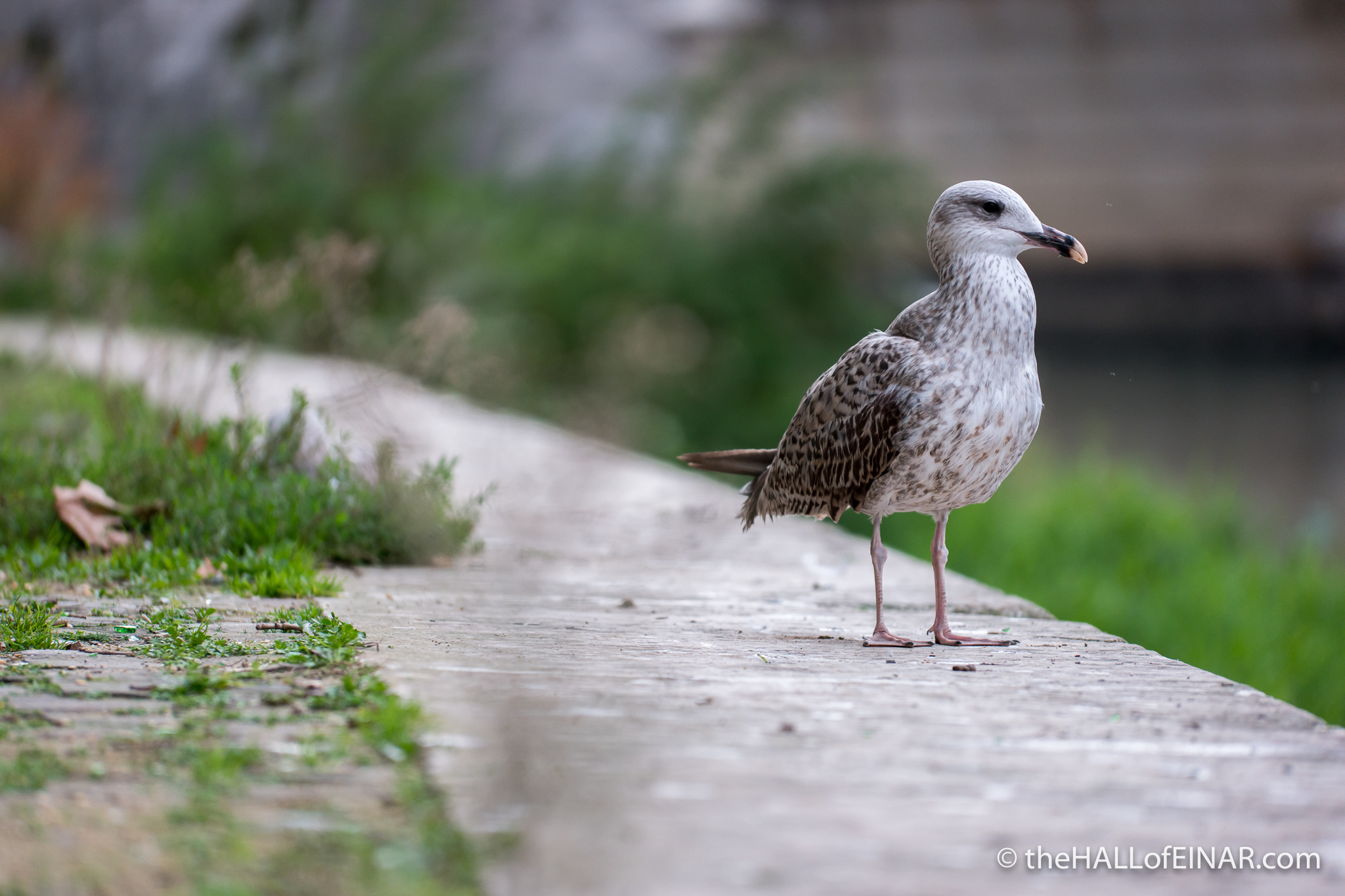 Yellow Legged Gull - The Hall of Einar - photograph (c) David Bailey (not the)