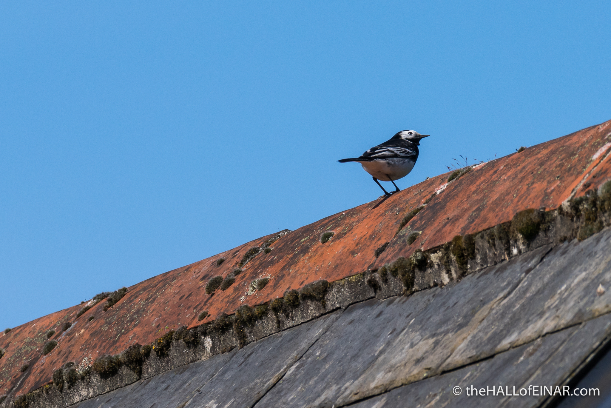 Pied Wagtail - The Hall of Einar - photograph (c) David Bailey (not the)
