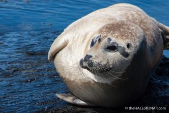 Seal on Westray - The Hall of Einar - photograph (c) David Bailey (not the)