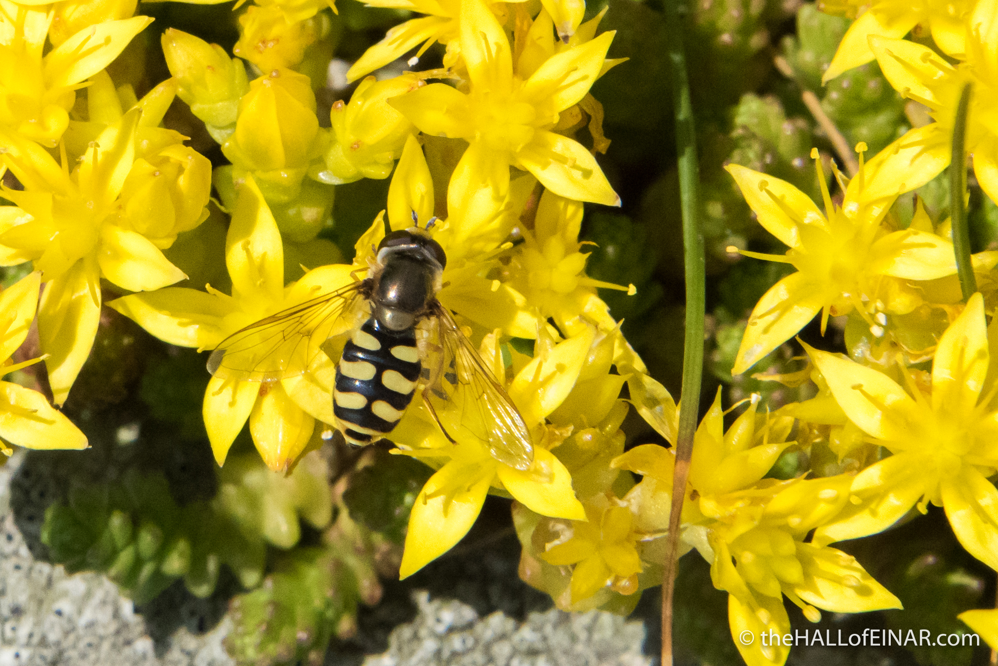 Eupeodes corollae - The Hall of Einar - photograph 9C) David Bailey (not the)