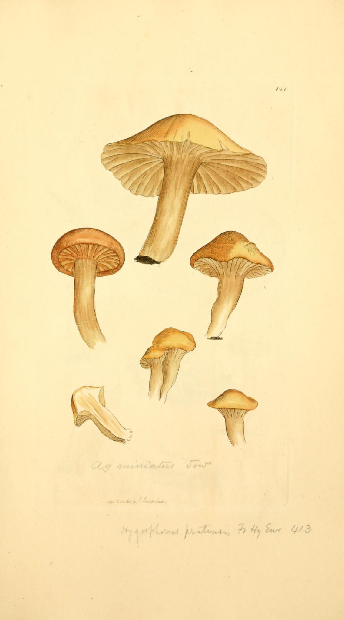 Hygrocybe pratensis - The Hall of Einar