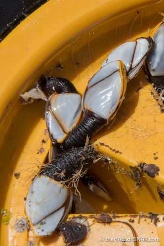 Goose Barnacles - The Hall of Einar - photograph (c) David Bailey (not the)