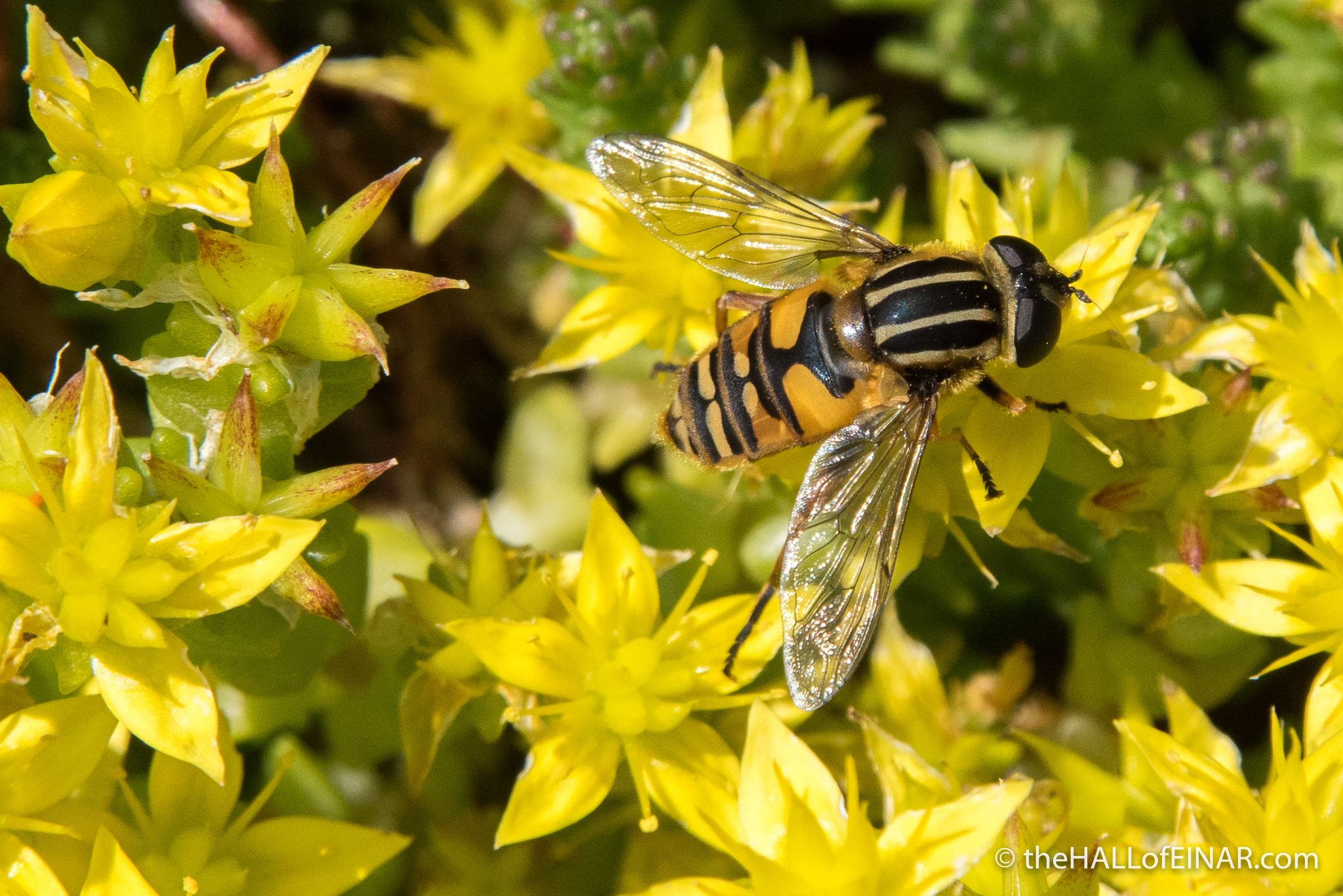 Hoverfly - The Hall of Einar - photograph (c) David Bailey (not the)