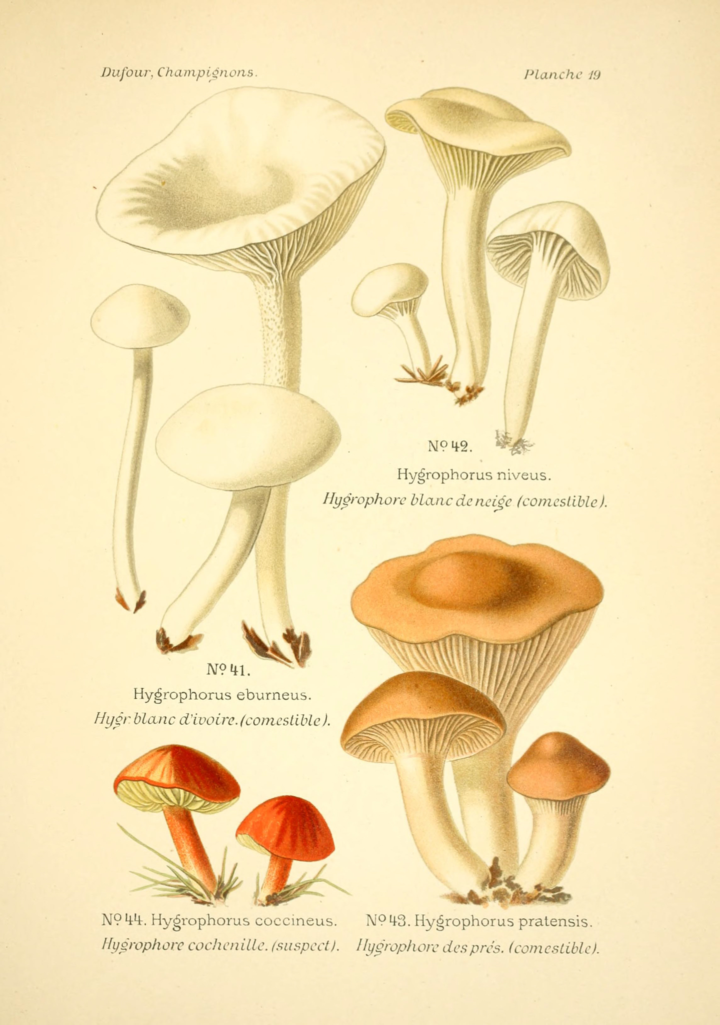Hygrocybe pratensis - The Hall of Einar