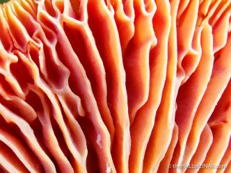 Hygrocybe punicea - The Hall of Einar - photograph (c) David Bailey (not the)