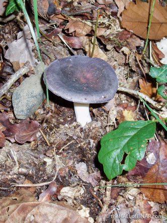 Russula cyanoxantha - The Hall of Einar - photograph (c) David Bailey (not the)