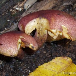 Tricholomopsis rutilans - The Hall of Einar - photograph (c) David Bailey (not the)