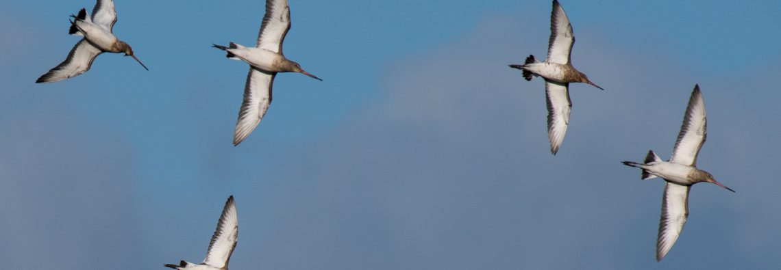 Black Tailed Godwit - The Hall of Einar - photograph (c) David Bailey (not the)
