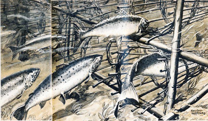 Salmon illustration (c) Raymond Sheppard