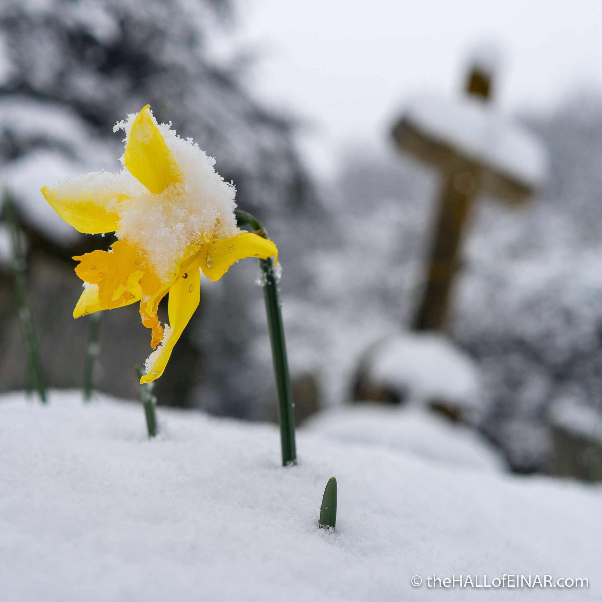Daffodil - The Hall of Einar - photograph (c) David Bailey (not the)
