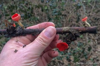 Scarlet Elf Cup Sarcoscypha cocinea - The Hall of Einar - photograph (c) David Bailey (not the)