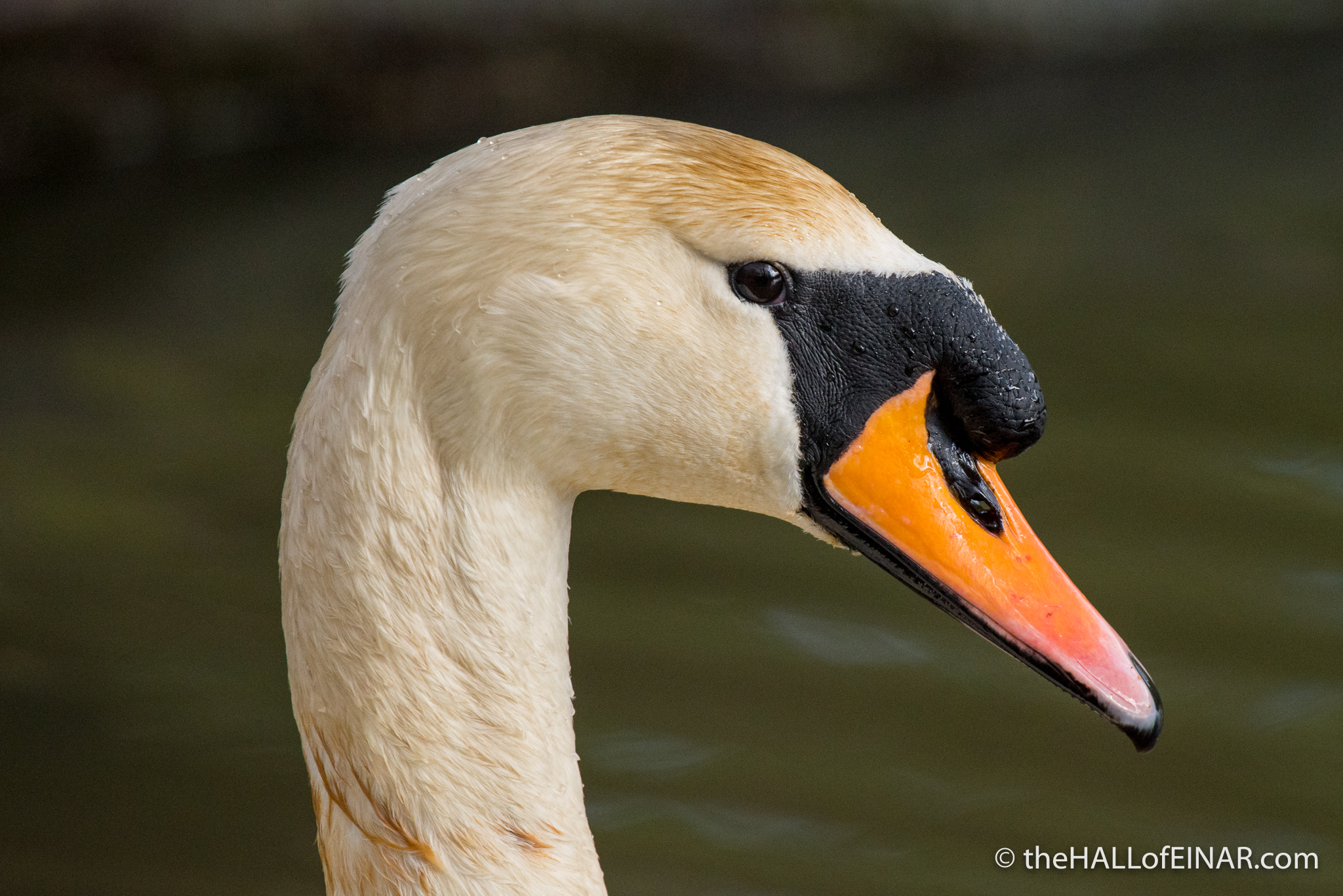 Mute Swan - Stover - The Hall of Einar - photograph (c) David Bailey (not the)