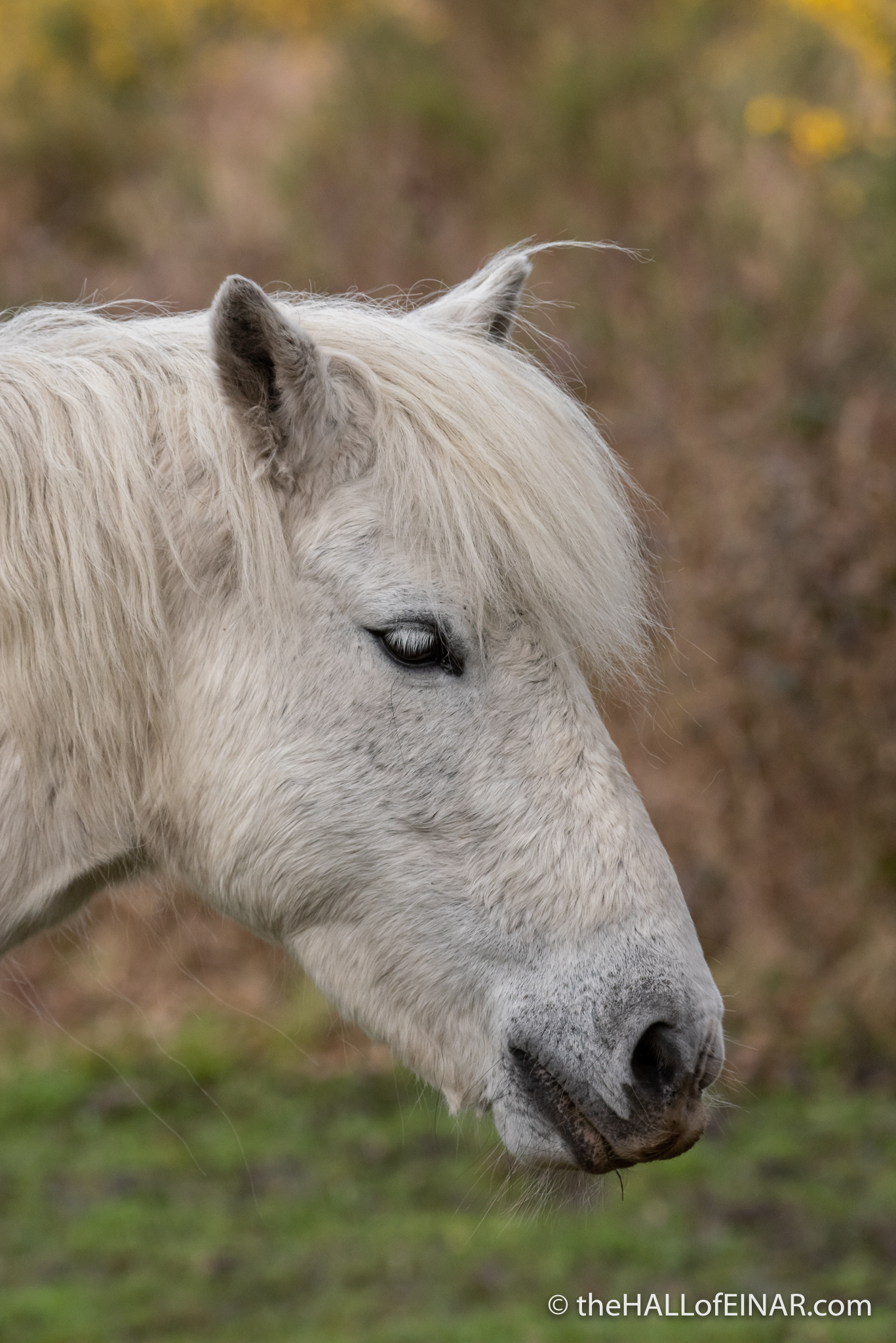 Dartmoor Pony - The Hall of Einar - photograph (c) David Bailey (not the)
