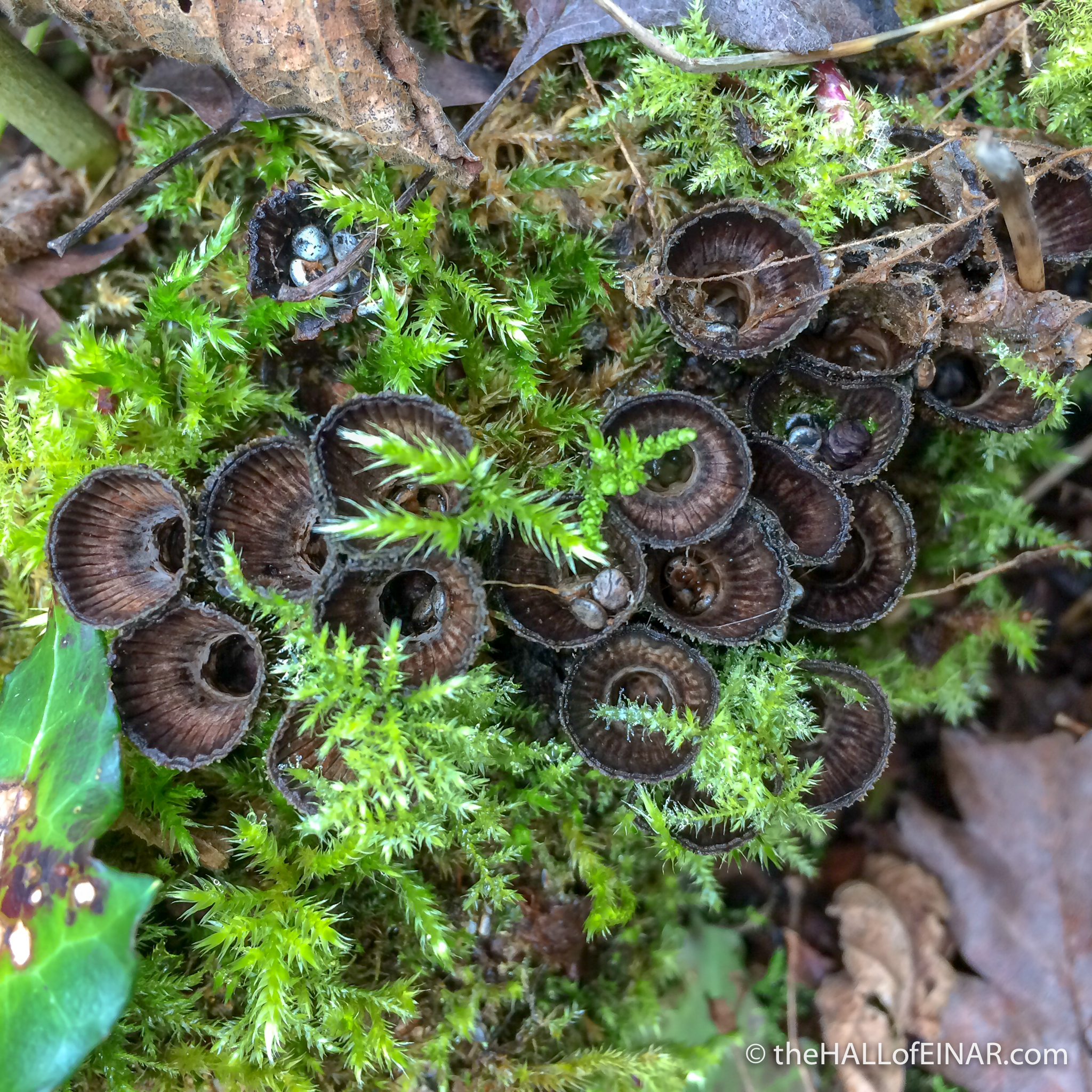 Fluted Bird's Nest Fungus - The Hall of Einar - photograph (c)David Bailey (not the)