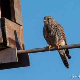 Kestrel - The Hall of Einar - photograph (c) David Bailey (not the)