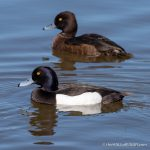 Tufted Duck - The Hall of Einar - photograph (c) David Bailey (not the)
