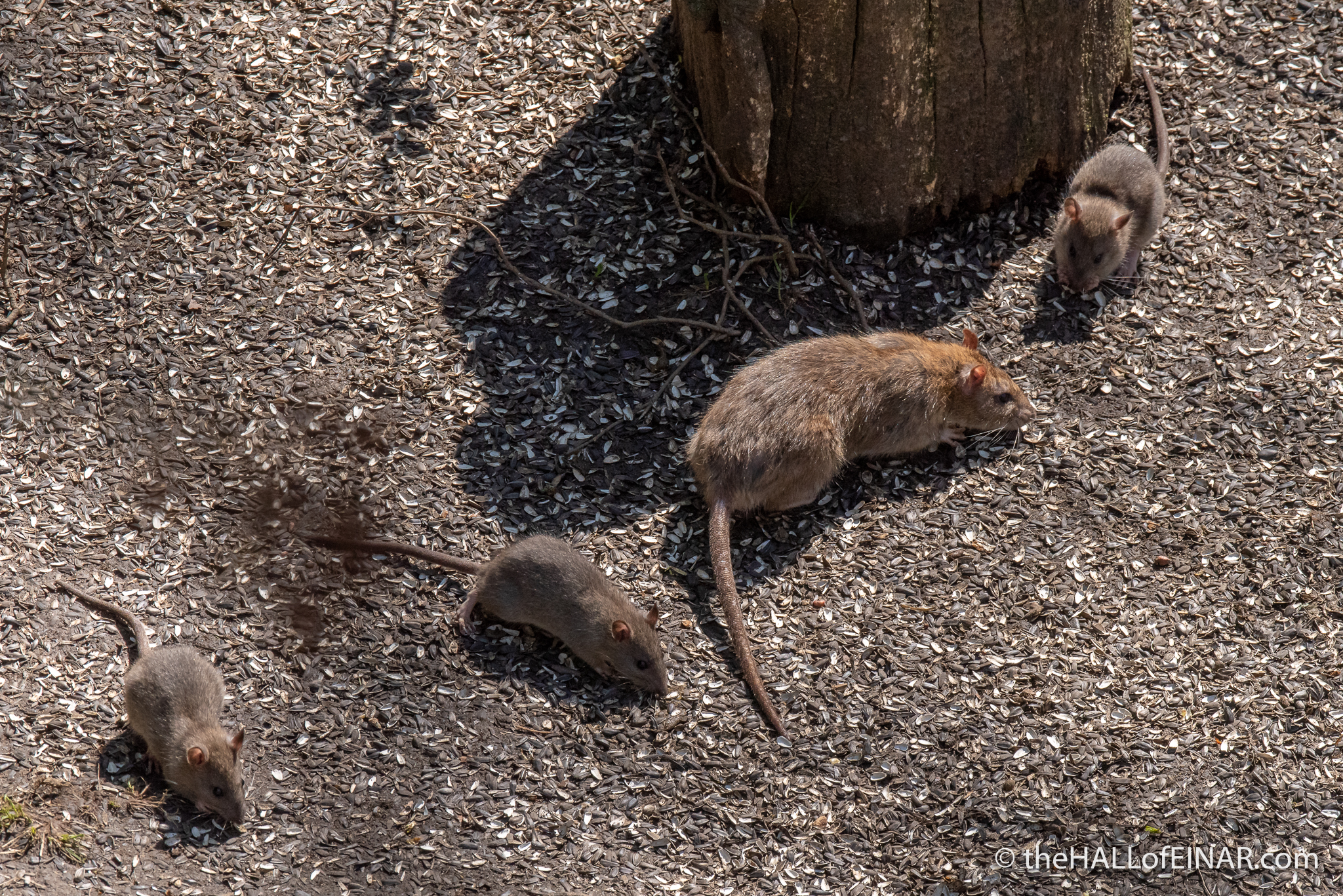 Brown Rat - The Hall of Einar - photograph (c) David Bailey (not the)