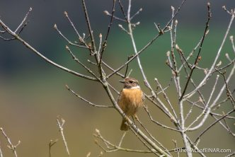 Stonechat - The Hall of Einar - photograph (c) David Bailey (not the)