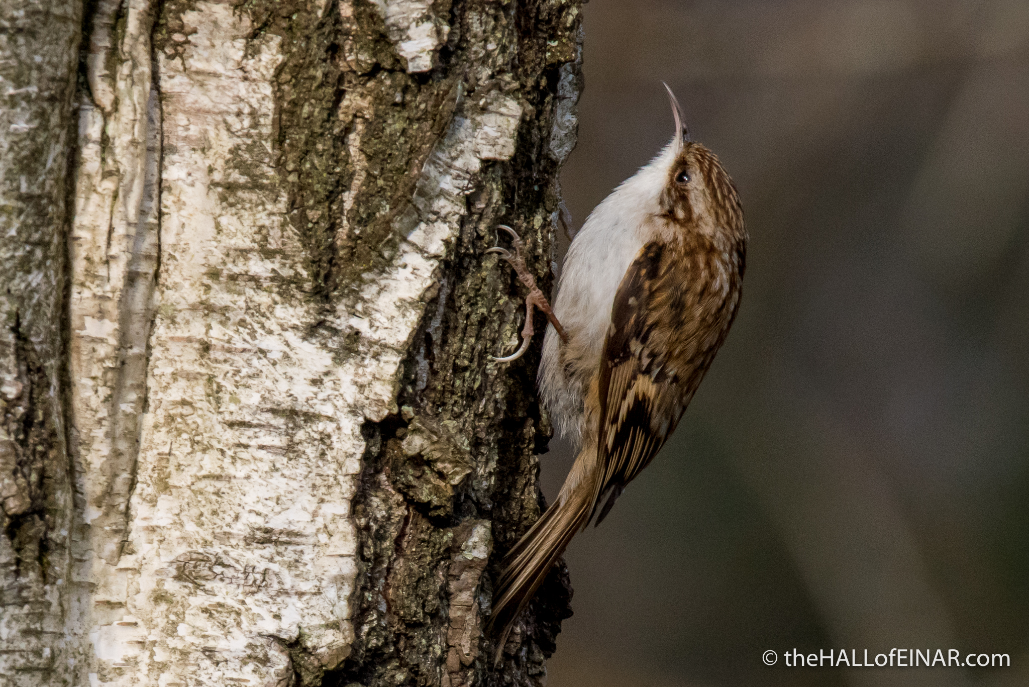 Treecreeper - The Hall of Einar - photograph (c) David Bailey (not the)