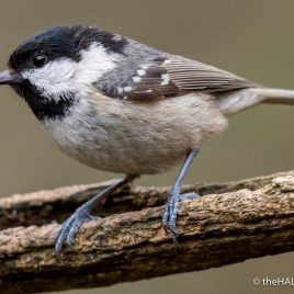 Coal Tit - The Hall of Einar - photograph by David Bailey (not the)