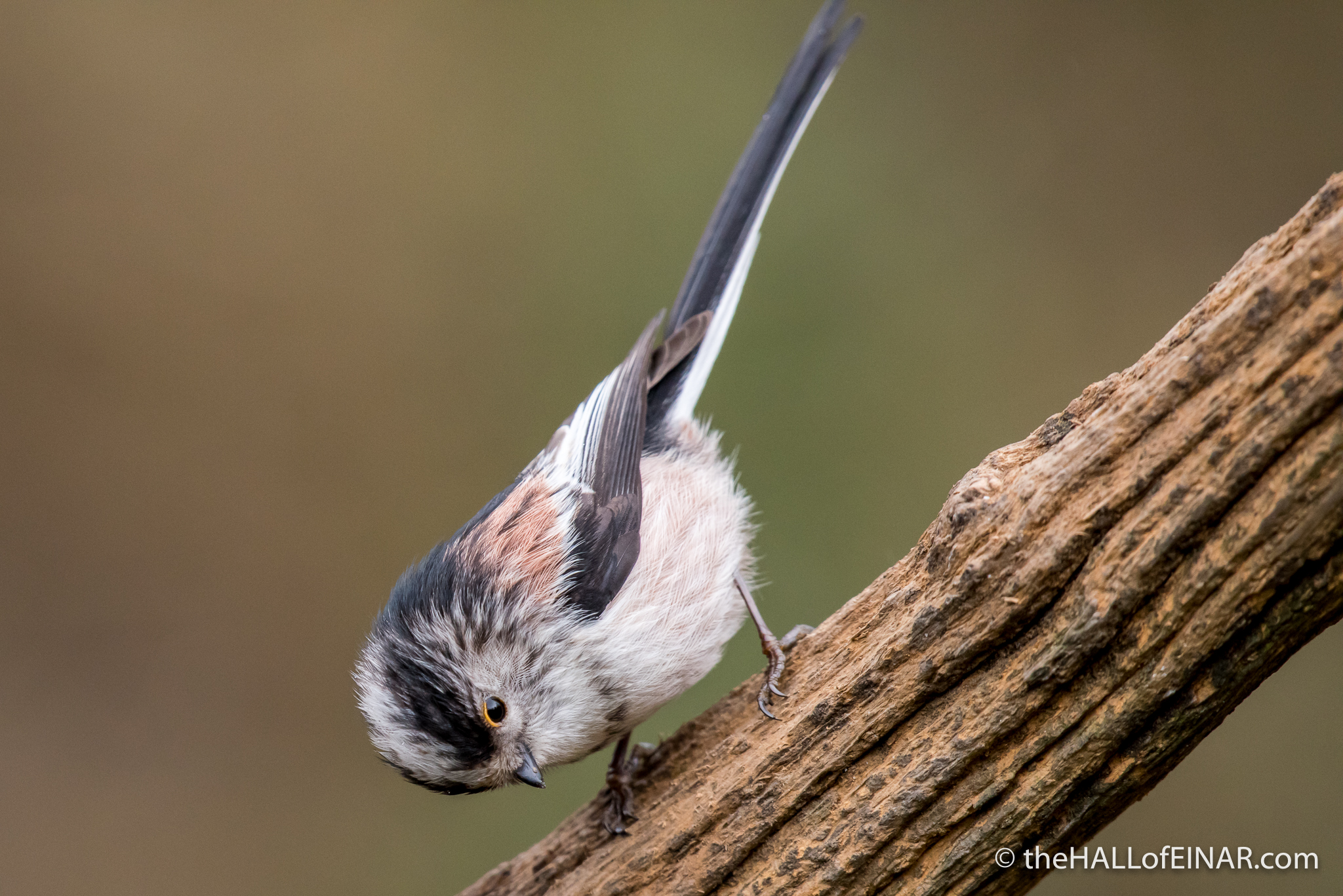 Long-Tailed Tit - The Hall of Einar - photograph (c) David Bailey (not the)