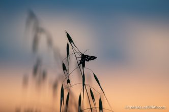 Amata moth - Matera - The Hall of Einar - photograph (c) David Bailey (not the)