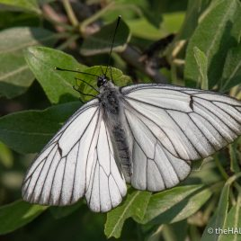 Black Veined White - Matera - The Hall of Einar - photograph (c) David Bailey (not the)