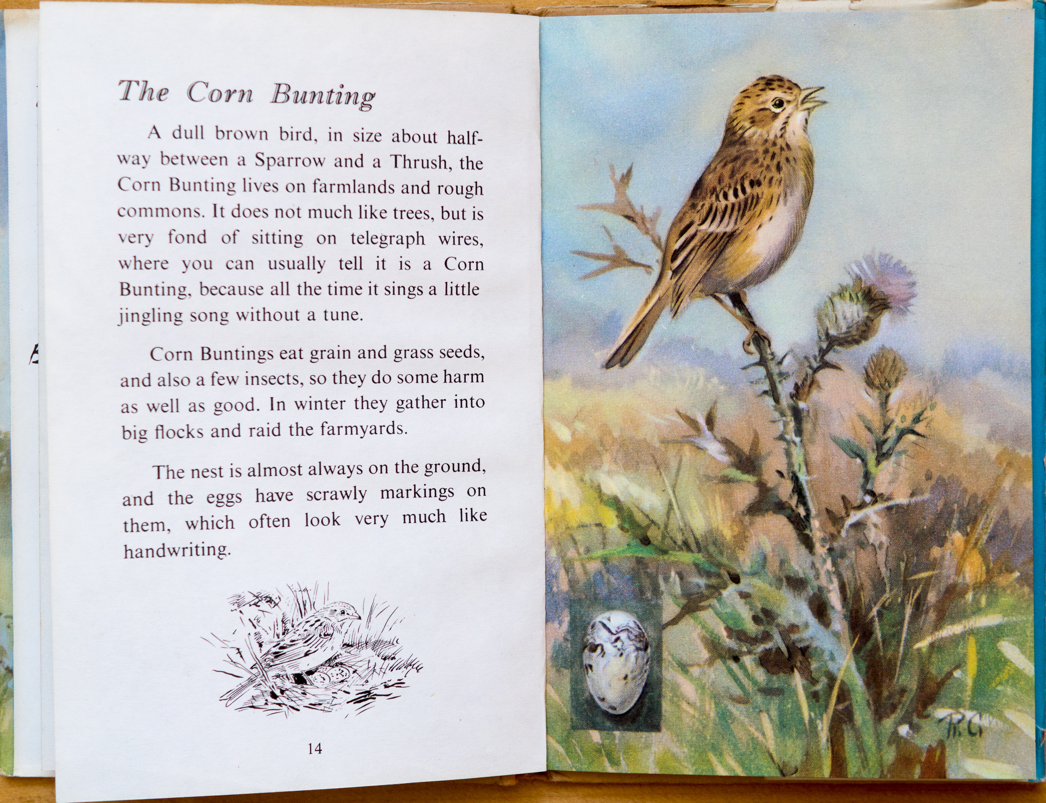 Corn Bunting - Ladybird Book of British Birds