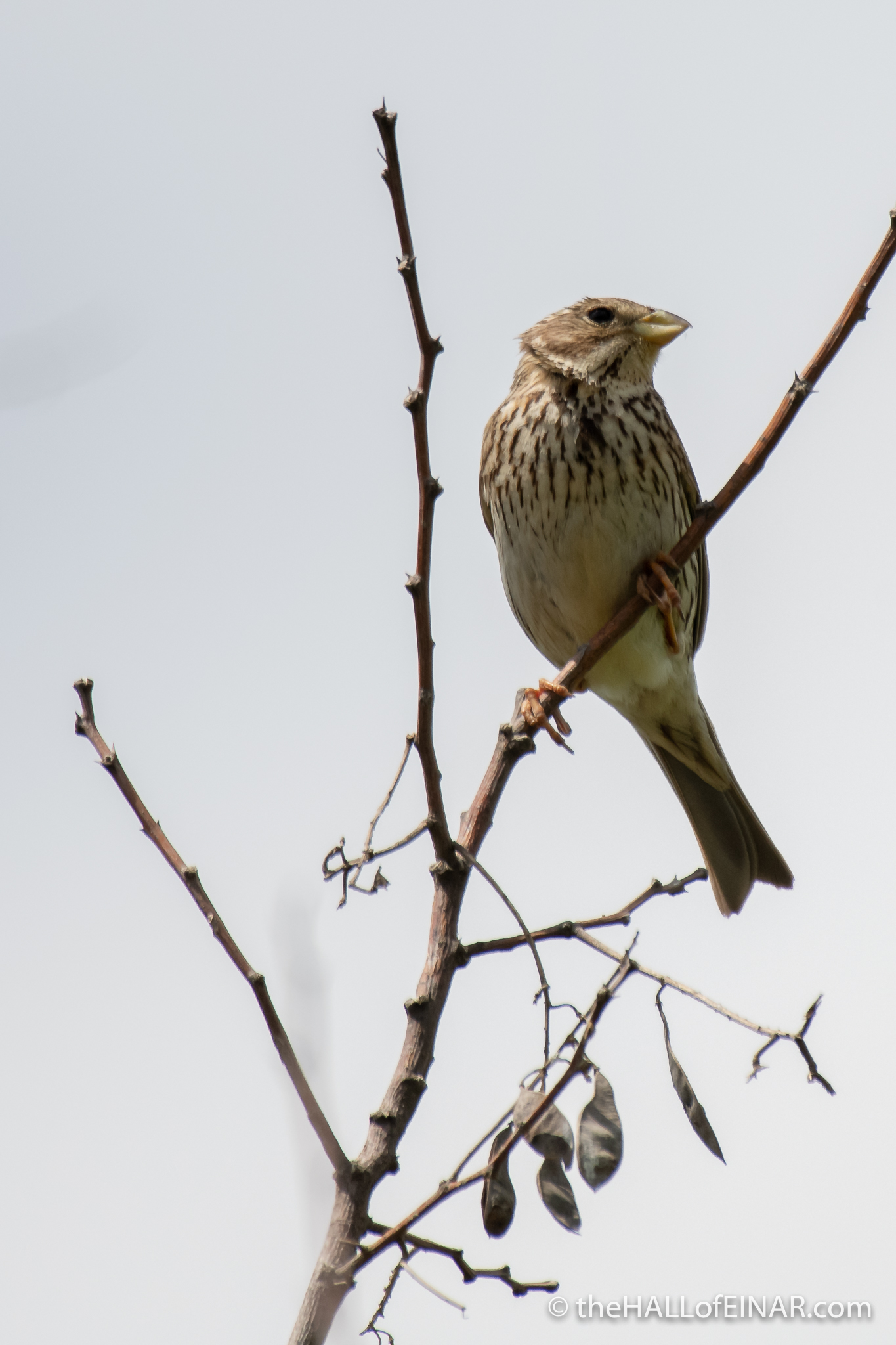 Corn Bunting - The Hall of Einar - photograph (c) David Bailey (not the)
