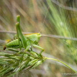 Green Cricket - Matera - The Hall of Einar - photograph (c) David Bailey (not the)