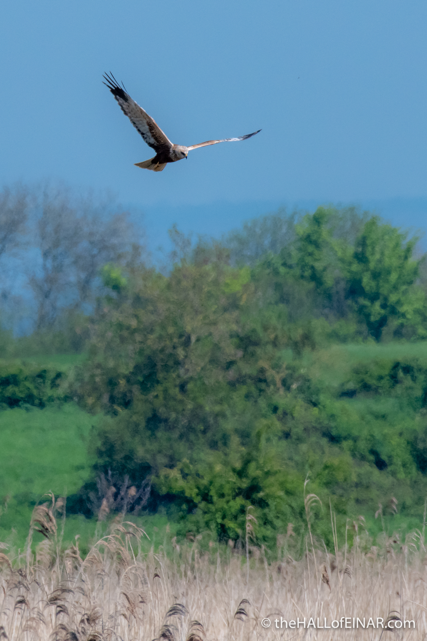 Marsh Harrier - The Hall of Einar - photograph (c) David Bailey (not the)