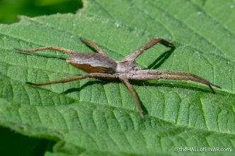 Nursery Web Spider - The Hall of Einar - photograph (c) David Bailey (not the)