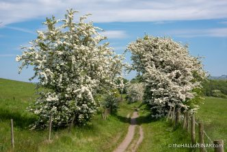 Hawthorn - The Hall of Einar - photograph (c) David Bailey (not the)