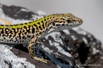 Italian Wall Lizard - Matera - The Hall of Einar - photograph (c) David Bailey (not the)