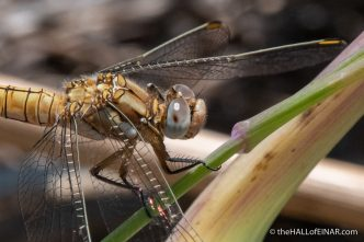 Southern Skimmer Dragonfly - Matera - The Hall of Einar - photograph David Bailey (not the)