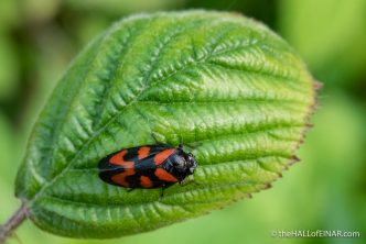 Red-and-black Froghopper - Cercopis vulnerata - The Hall of Einar - photograph (c) David Bailey (not the)