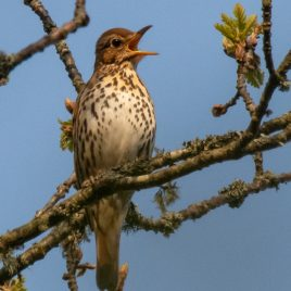 Song Thrush - The Hall of Einar - photograph (c) David Bailey (not the)