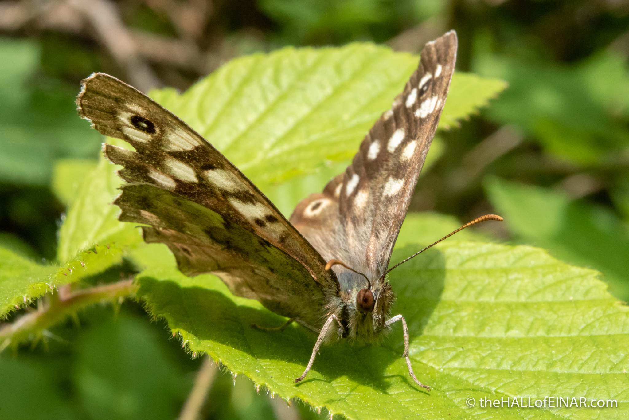 Speckled Wood butterfly - The Hall of Einar - photograph (c) David Bailey (not the)